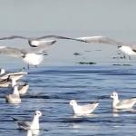 Obiettivo Maremma – 5) La danza dei gabbiani nella laguna di Orbetello