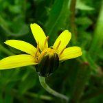 Obiettivo Maremma – 13) Fiori di campo gialli