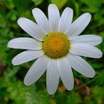 Obiettivo maremma – 14) Fiori di campo bianchi