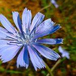 Obiettivo Maremma – 28) Fiori di campo blu