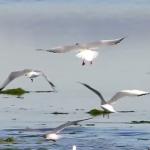 Obiettivo Maremma – 3) Gabbiani nella laguna …